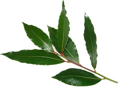 Resultado de imagem para feuilles de laurier